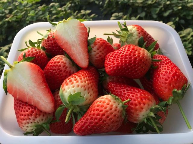 优质草莓采摘园