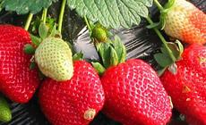 小董草莓园