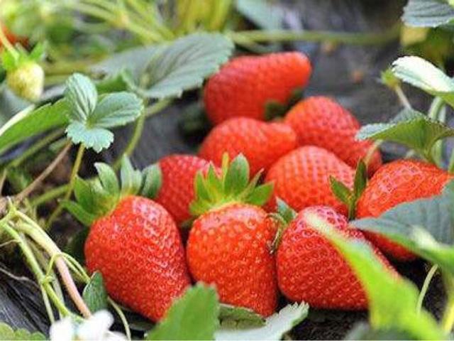 一品甜奶油草莓采摘园