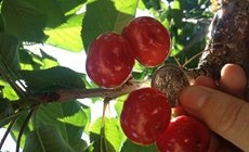 于家庄园极品大樱桃