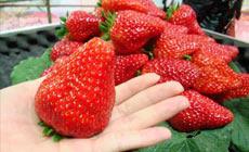 铁强奶油草莓采摘园