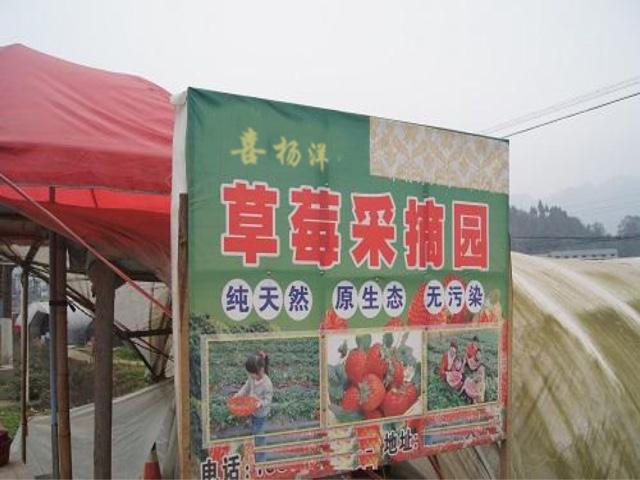 喜杨洋草莓采摘园