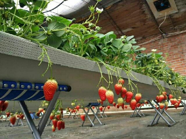 北大荒现代农业园老万草莓采摘