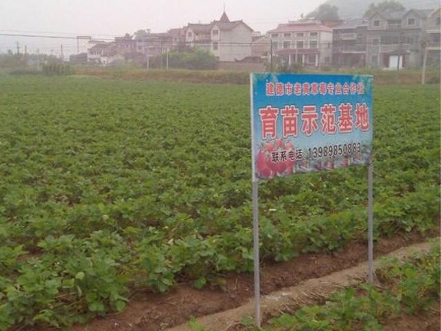 老黄草莓苗