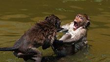 实拍日本猕猴成群结队泡温泉 表情满足引围观