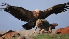 实拍胡狼捕杀秃鹫的罕见一幕 不忍直视!