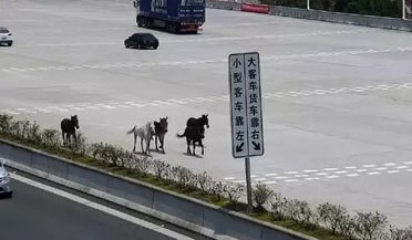 惊险!五匹骏马高速逆行奔跑