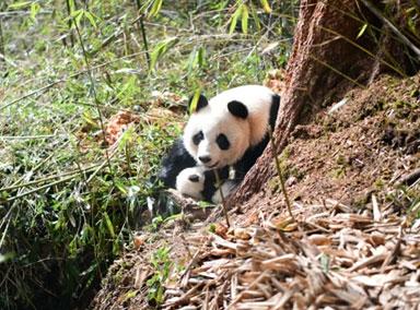 全球首例野外产仔大熊猫成功回捕