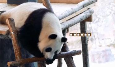 芬兰合唱团为熊猫唱中文歌