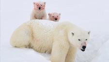 实拍北极熊母子啃食海豹尸体 满脸染鲜血