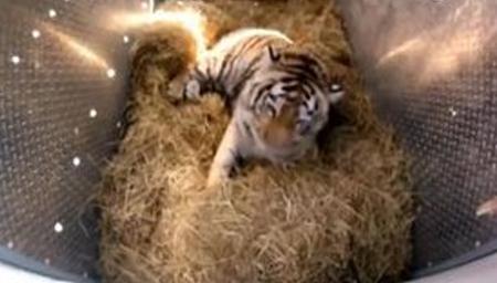 百年罕见!老虎回归自然车笼打开刹那间激动人心