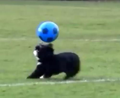 世界第一只罗纳尔多狗,狂炫神球技