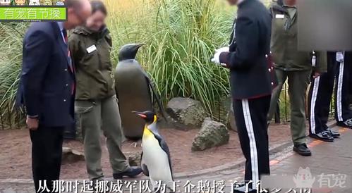 厉害了word姐!企鹅竟被授予爵士视察军队