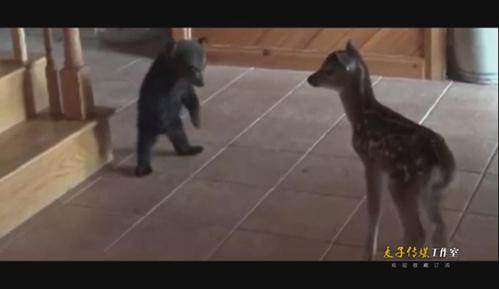 实拍小熊初次碰见小鹿 紧抱楼梯柱子害羞卖萌