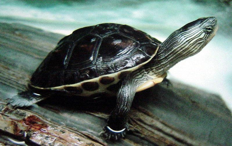 头有很多细线白色条纹的乌龟是什么乌龟.谢谢
