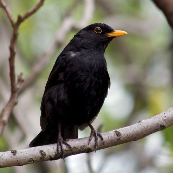 黑鸟虫是什么鸟