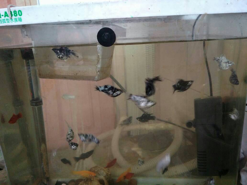 963942191_皮球鱼是不是就是玛丽鱼?银玛丽鱼生产有什么前兆 ...