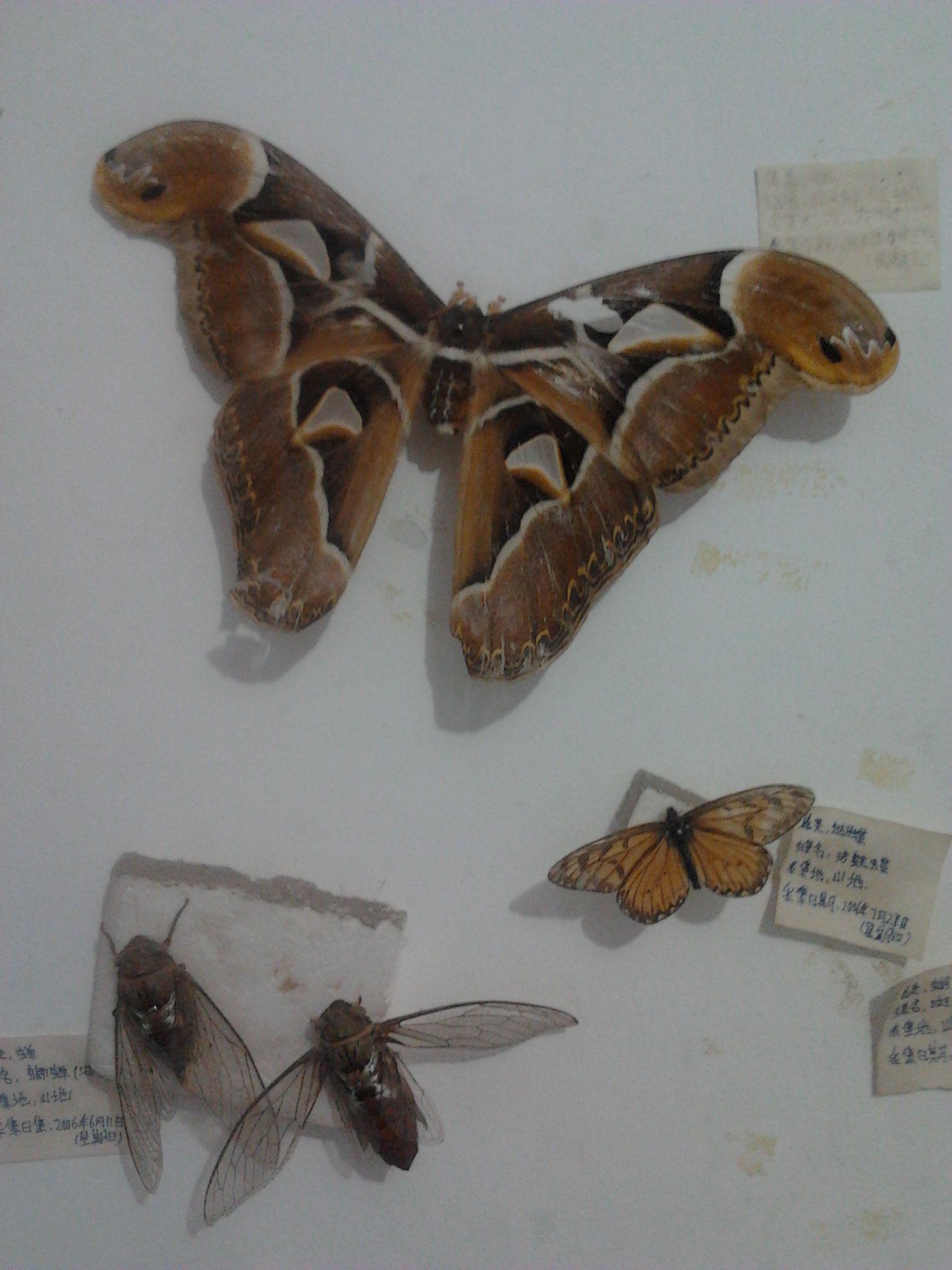 蝴蝶标本制作 蝴蝶标本的制作过程 蝴蝶标本制作方法