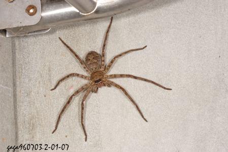 一般家里的蜘蛛是什么蜘蛛?毒性大吗?最好有图片 ...