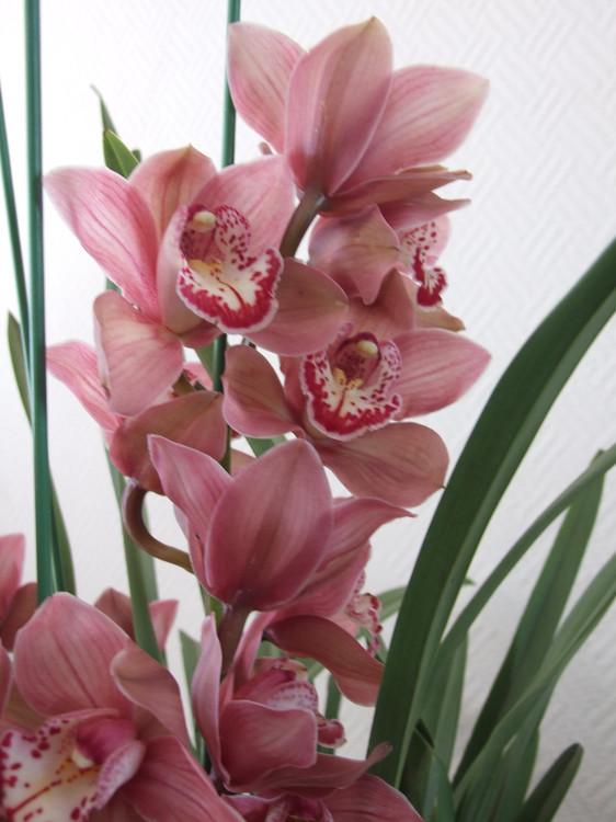 这是什么品种的兰花图片