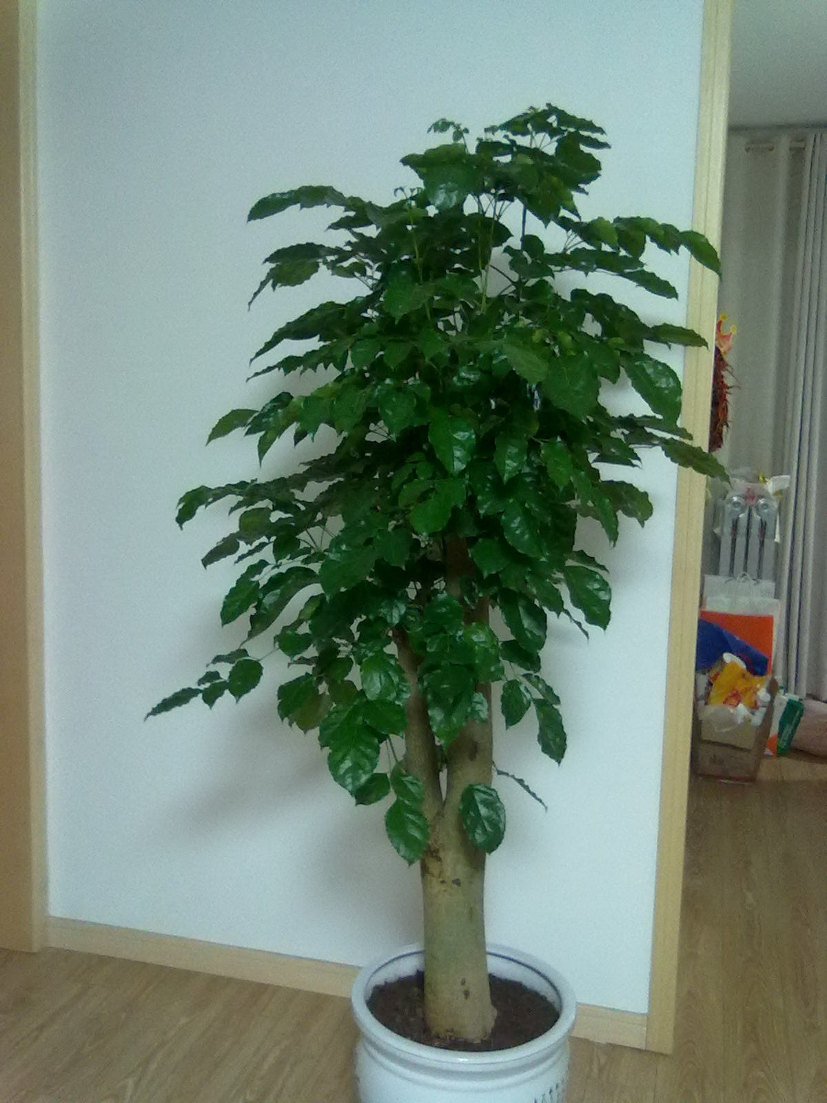 请问一种盆栽植物的名称:该植物叶子细长,扁平.
