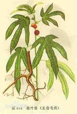 五指叶是什么植物
