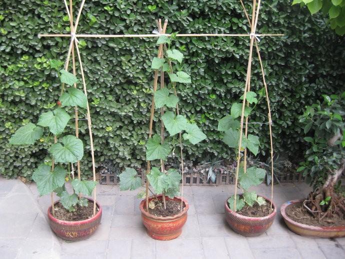 家里黄瓜怎么种植方法
