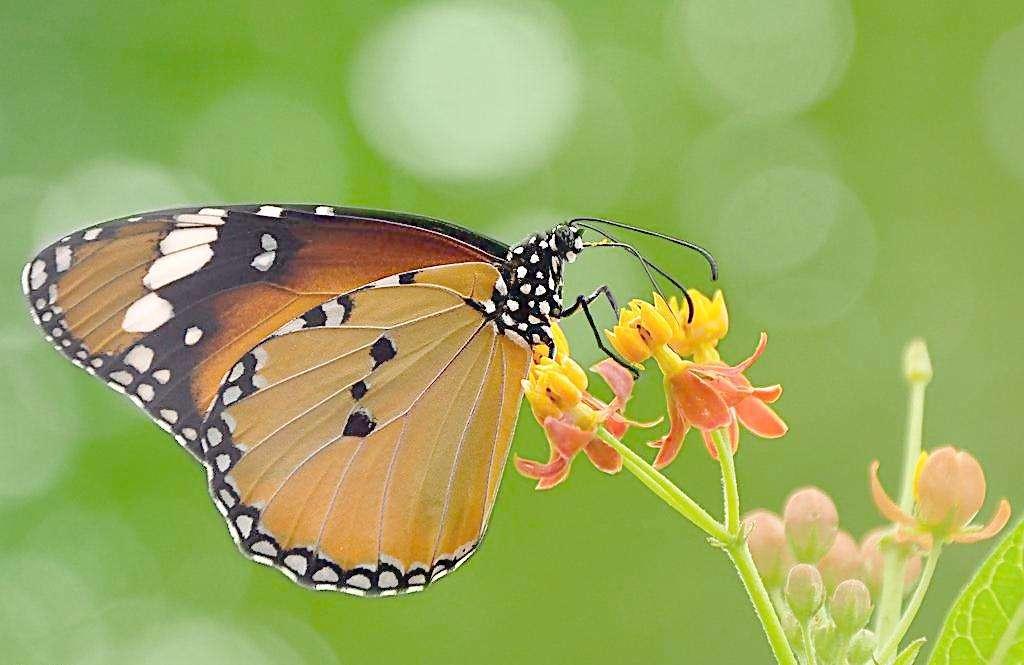 怎么形容蝴蝶拖勇