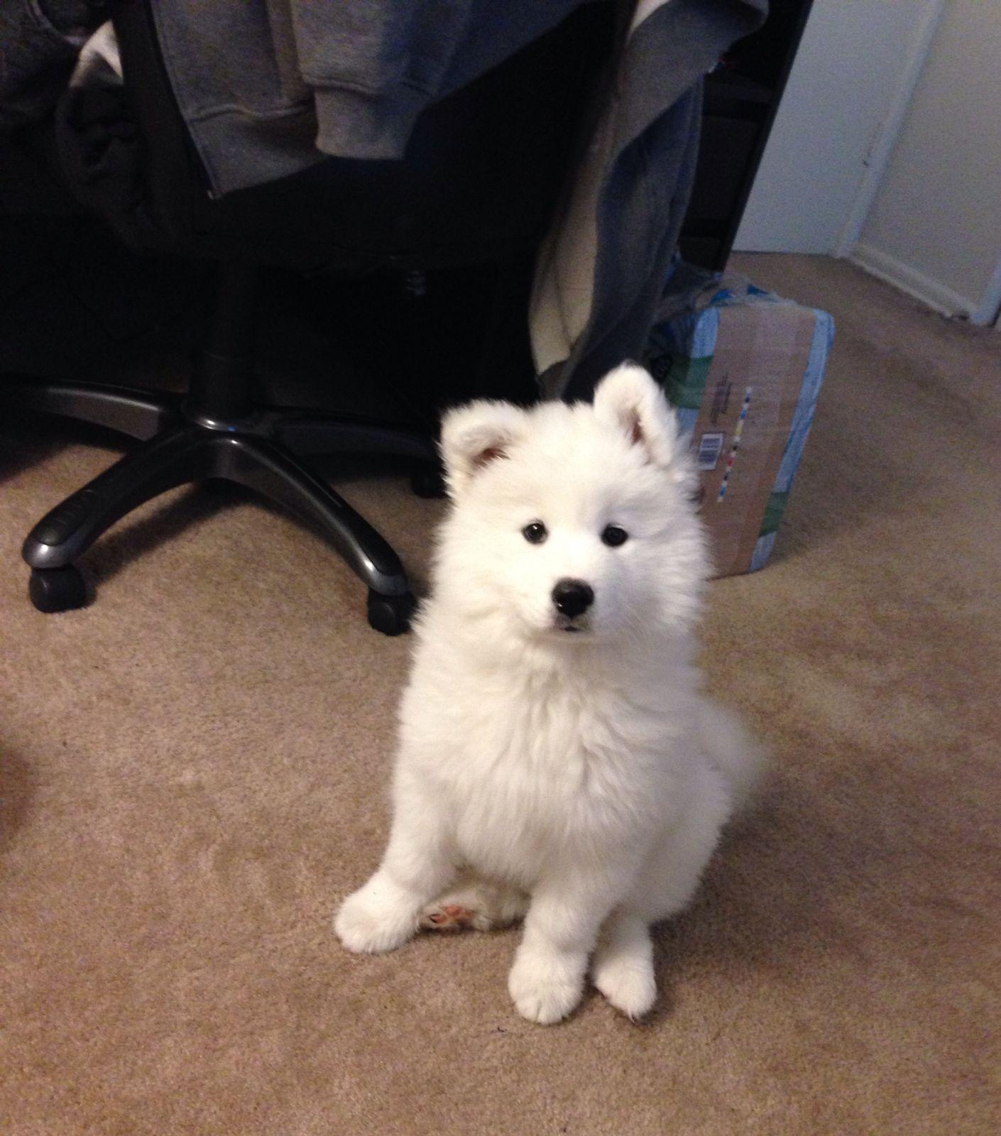 五冃天_萨摩狗狗,不到六个月,得了细小病毒,今天是第五天了,一直都在打针