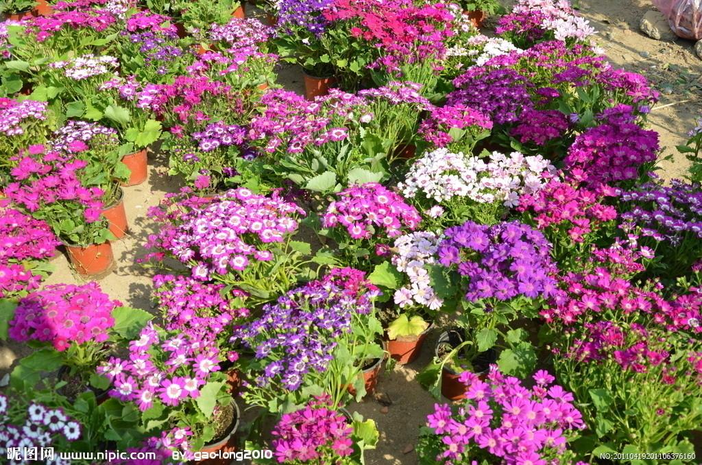 粉色的菊花