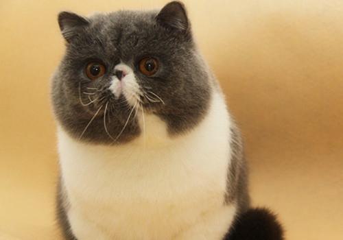 低鼻位异国短毛猫