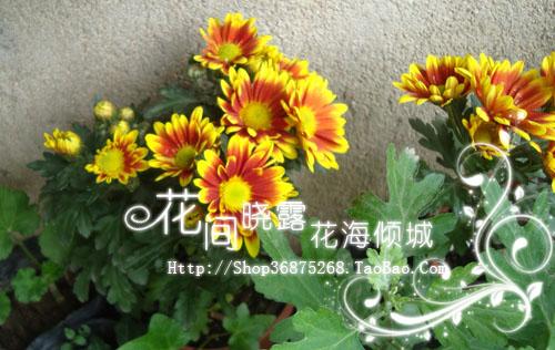 菊花图片菊花图片大全菊花种类及图片菊花图片及名称大全菊花品种图