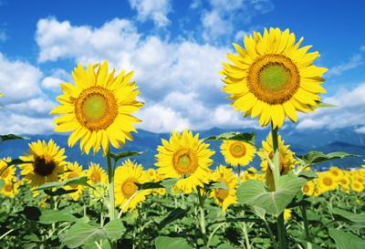 歌曲:阳光下的向日葵谁听过
