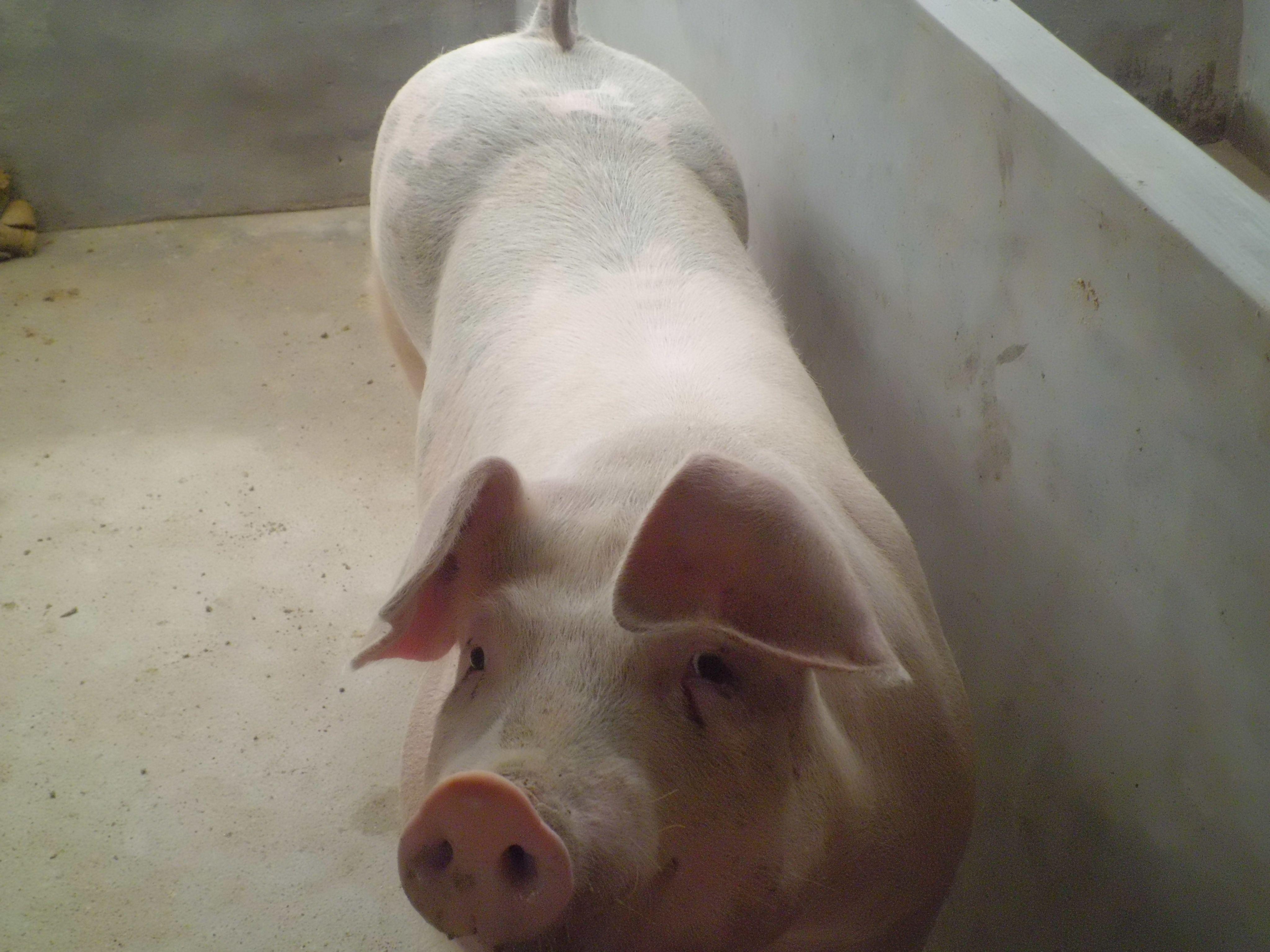 21,老母猪还是让小猪吃奶了._表情大全图片
