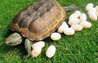 乌龟蛋 长什么样子啊