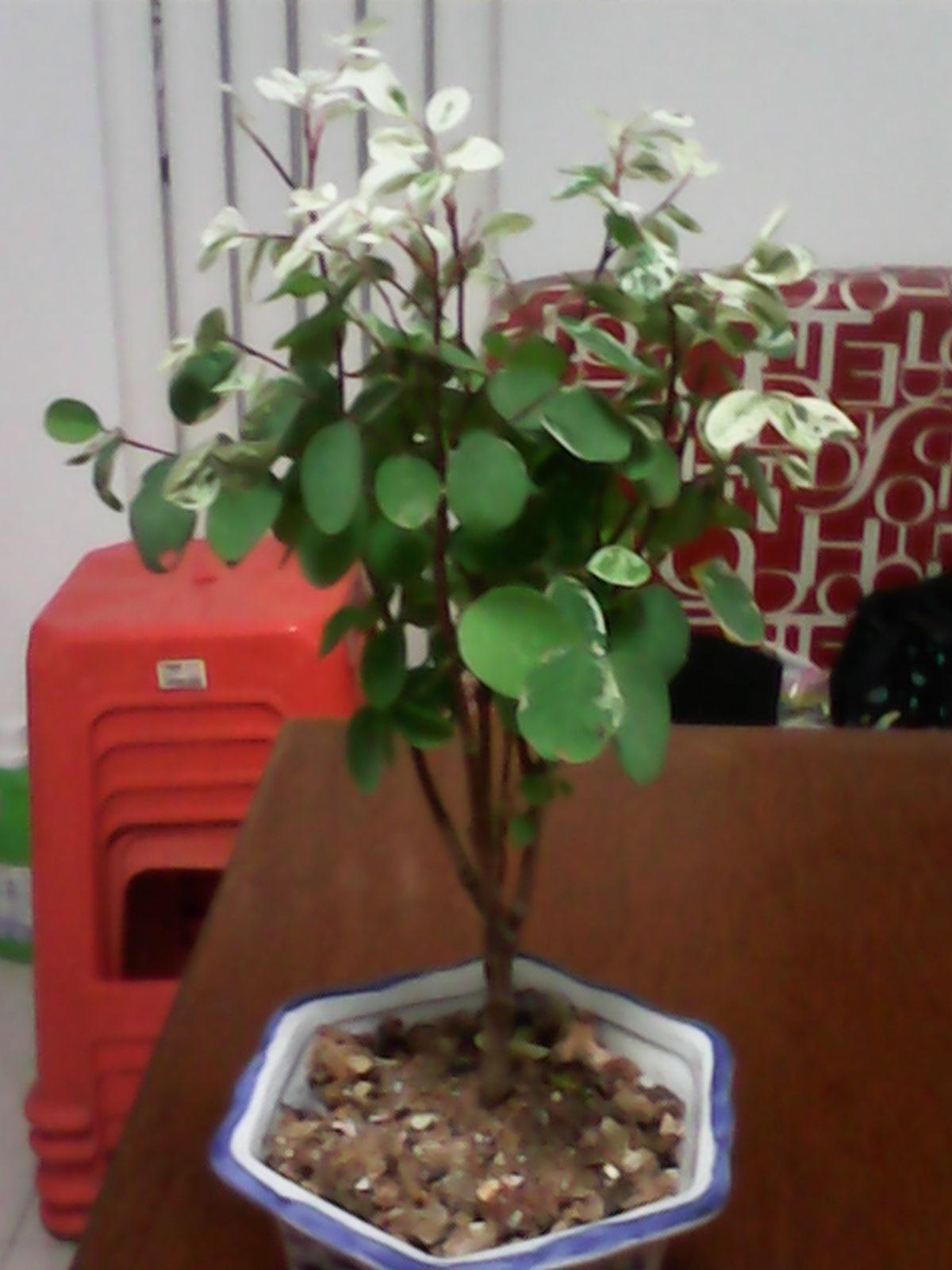 黑面神�_问一下,这个是什么花,新长出来的叶子是白色的,如图