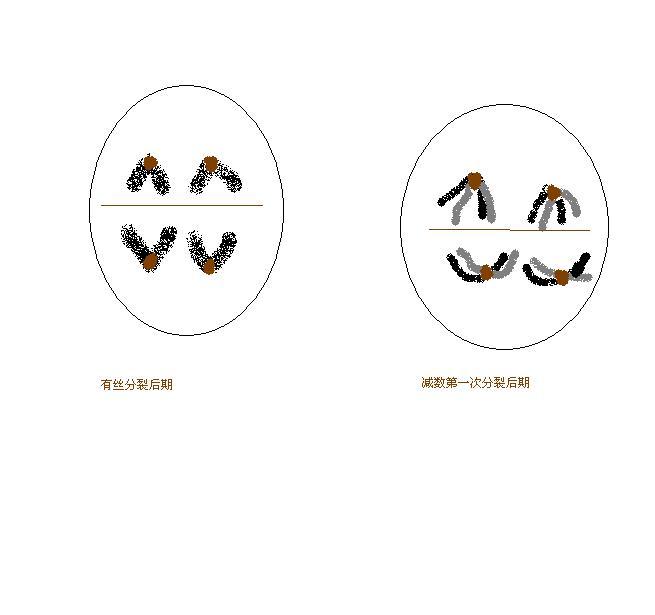 课件第一次分裂体联中,不可出现的是()a.同源染色减数b.里自行车的学问_过程图片