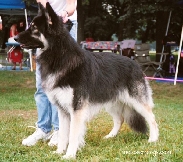 夏洛伊牧羊犬