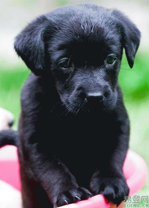 黑色拉布拉多犬 巨型拉布拉多犬 纯种成年拉布拉多犬高清图片