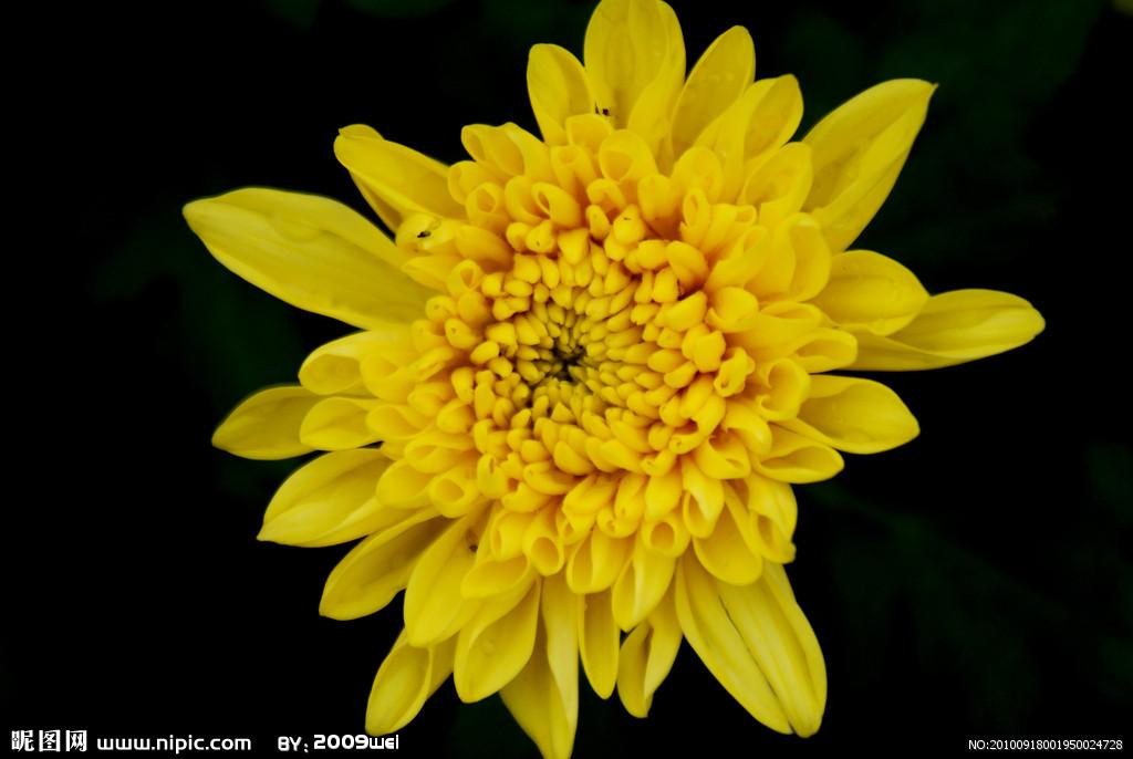 从近处看菊花像什么