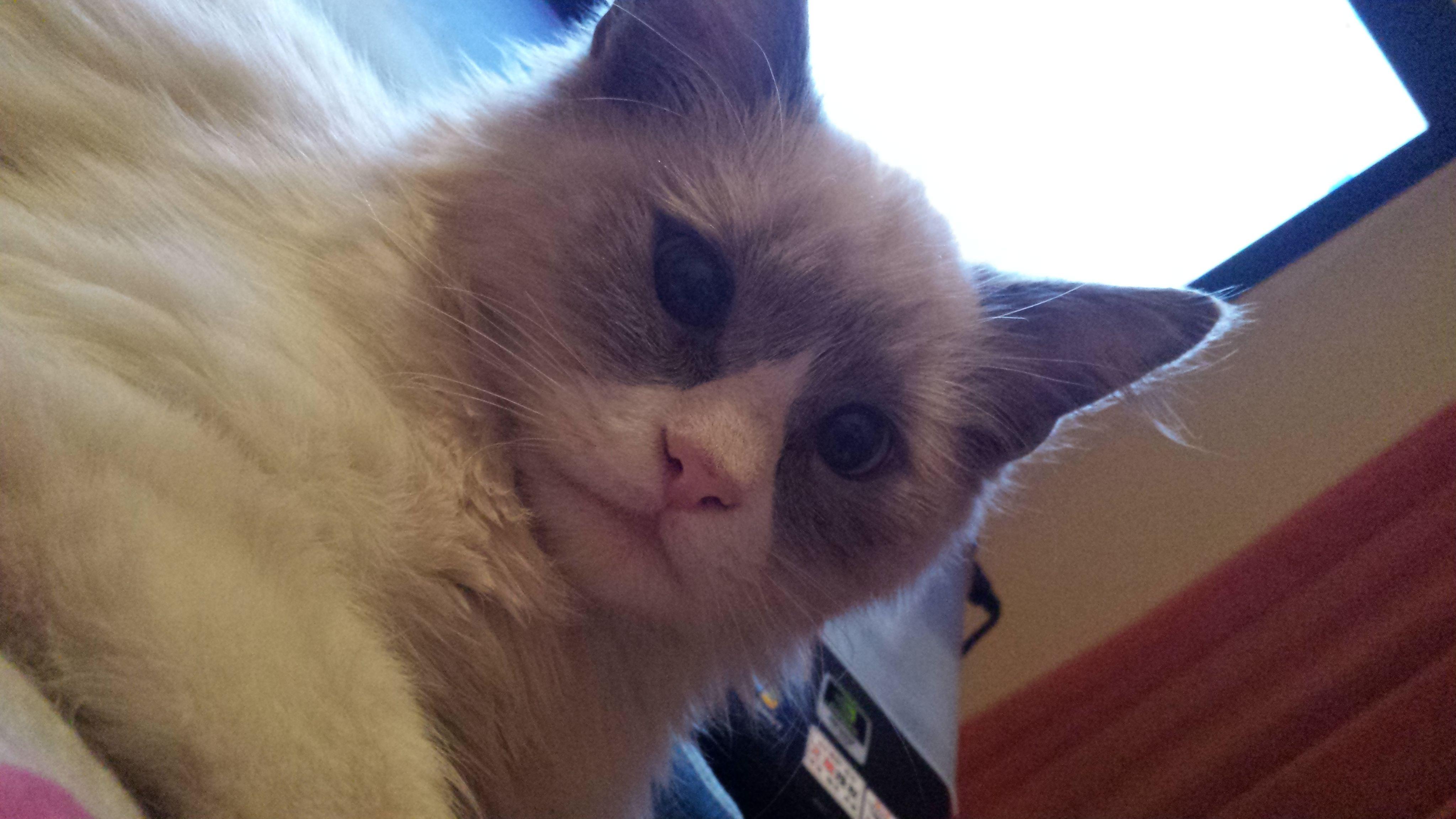 玳瑁色的猫