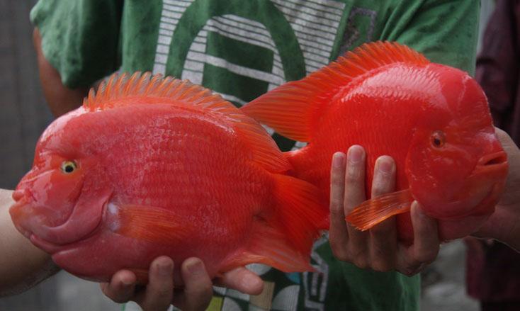金刚鹦鹉鱼图打得过罗汉鱼吗图片