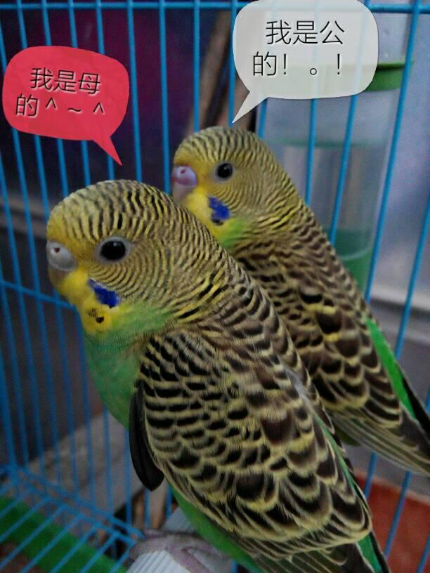 虎皮鹦鹉怎么分公母 鹦鹉多少钱一只 虎皮鹦鹉繁殖图片