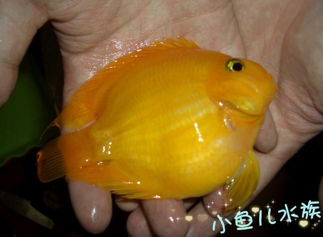 金刚鹦鹉鱼多大能起头-鹦鹉鱼多大 鹦鹉鱼有多大的 鹦鹉鱼有啥 鹦鹉鱼图片