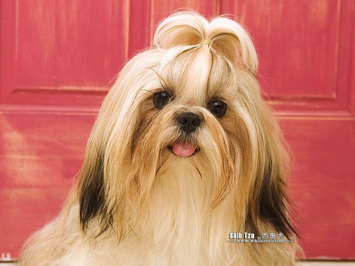 有一种狗头发很长,长的像个美女的是什么狗啊?图片