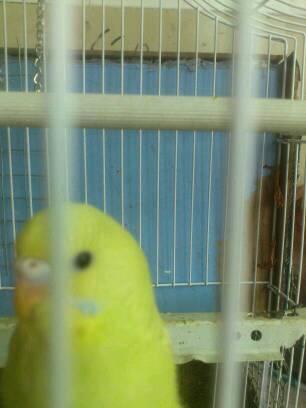 我这只黄化虎皮鹦鹉是公还是母图片