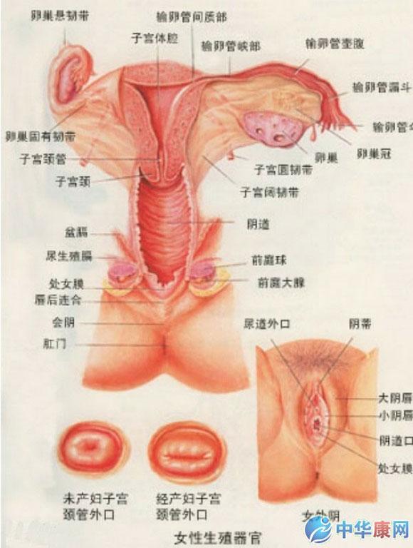 求女性腹腔泌尿生殖系统人体内的结构图急