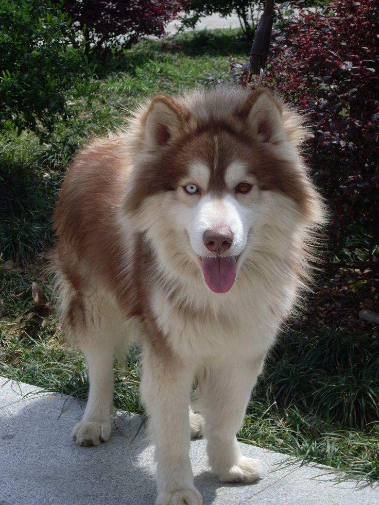 红色阿拉斯加犬
