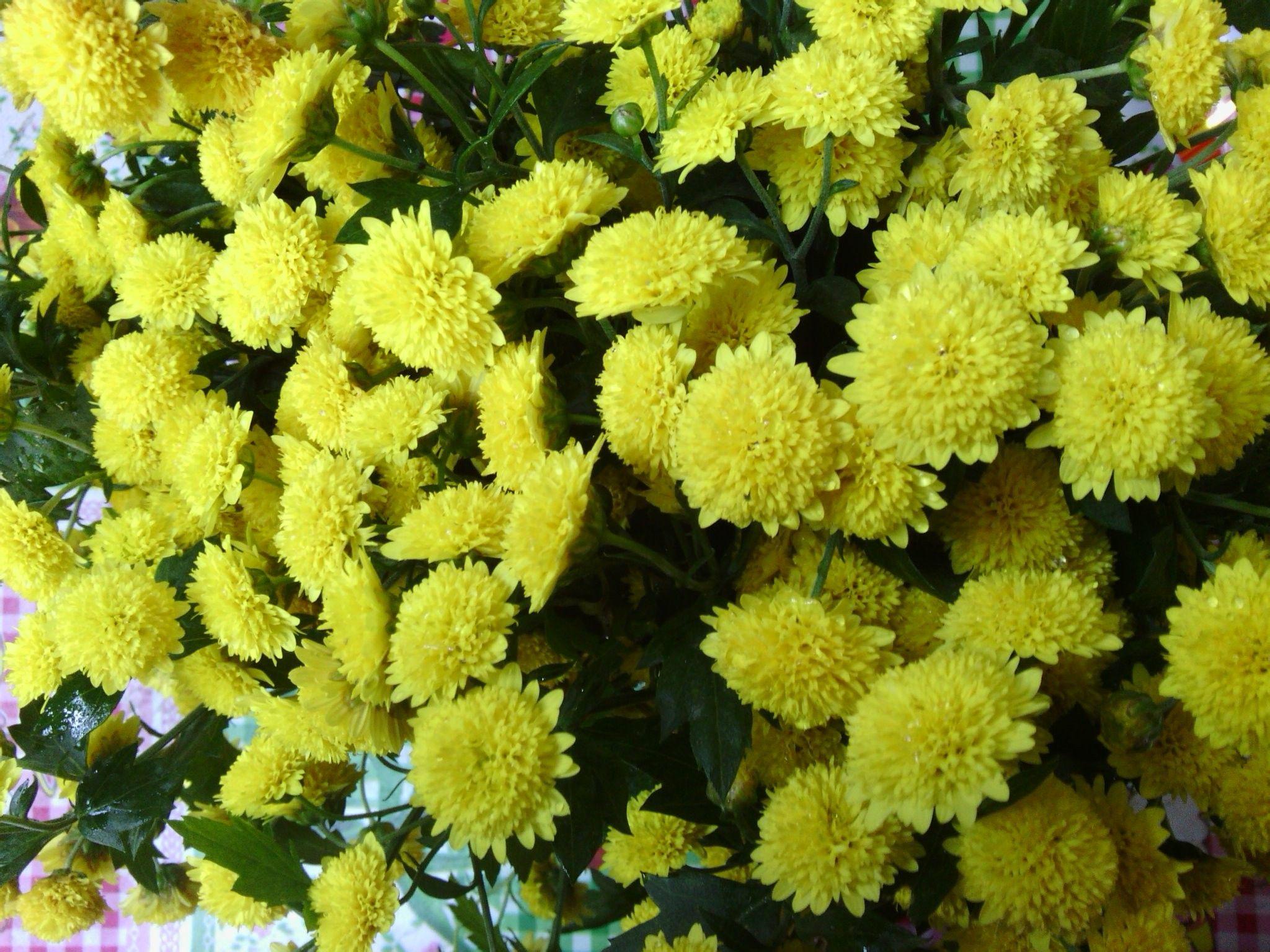 请问谁知道这是什么菊花?是什么品种?