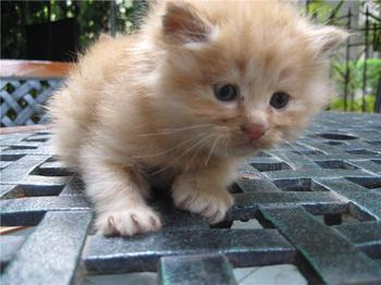中国猫品种大全